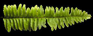 grünes Blatt, Farn
